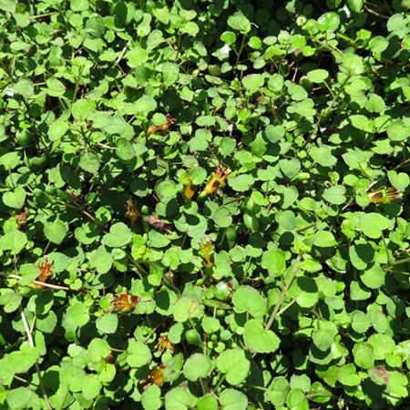 Fuchsia-procumbens--Creeping-Fuchsia-Dec-2013