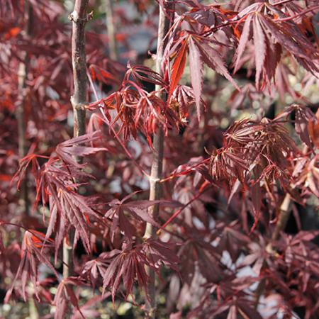 Acer-palmatum-Burgandy-Lace-Oct-2013