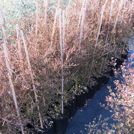 Dacrycarpus-dacrydioides-Kahikatea-Feb-2014