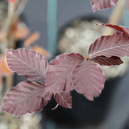 Fagus-Sylvatica-purpurea--Copper-Beech-Oct-2013