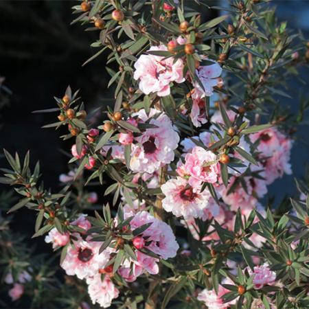 Leptospermum-Blossom-April-2014