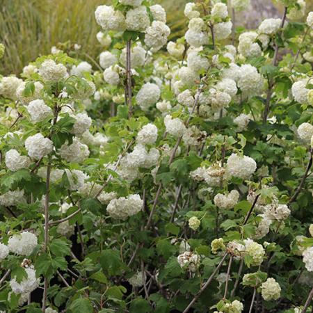 Viburnum-Opulus-Sterile-Snowball-Viburnum-in-flower-Oct-2013