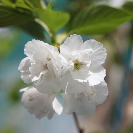 Prunus-Shirotae-Mt-Fuji-Flowering-Cherry-Oct-2013