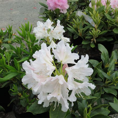 Rhododendron-Cunninghams-White-Oct-2014