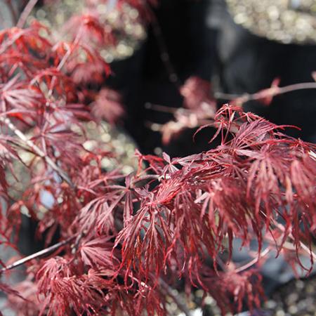 Acer-palmatum-dissectum-Crimson-Queen-Oct-2013