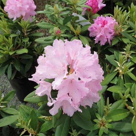 Rhododendron-Centennial-Day-Oct-2014