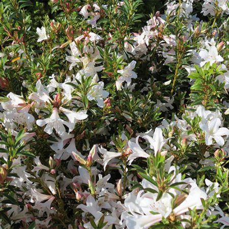 Rhododendron-Lilly-Oct-2014