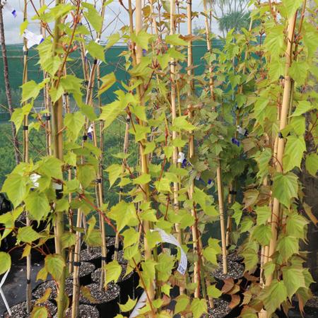 acer-caudatifolium-taiwanese-snake-bark-maple-sept-2016