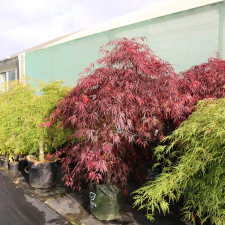 acer-palmatum-tamukeyama-japanese-maple-nov-2016