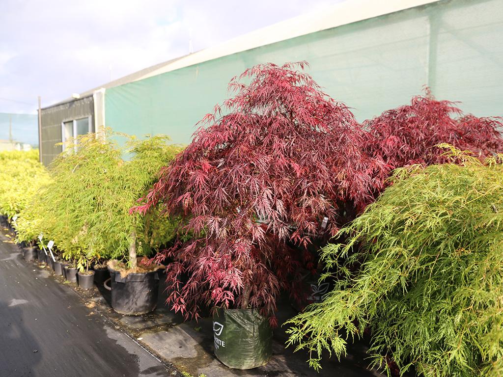 Acer Palmatum Tamukeyama Japanese Maple Awa Nursery