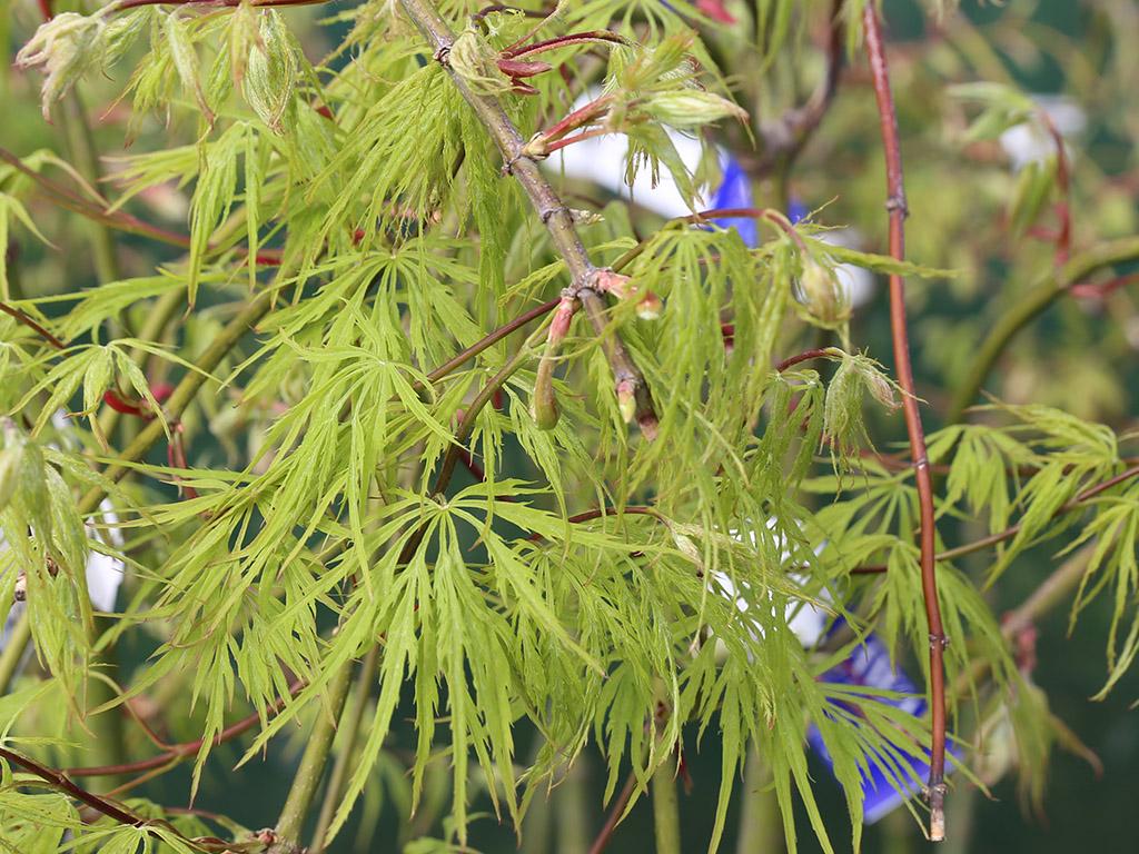 Acer palmatum dissectum Viridis Weeping Maple - Awa Nursery