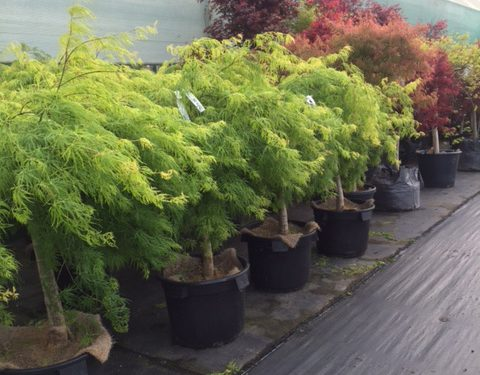 acers-japanese-maples