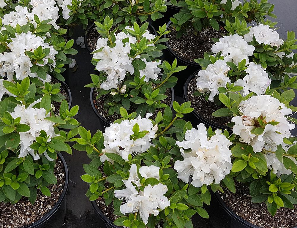 Azalea Autumn Lily Awa Nursery