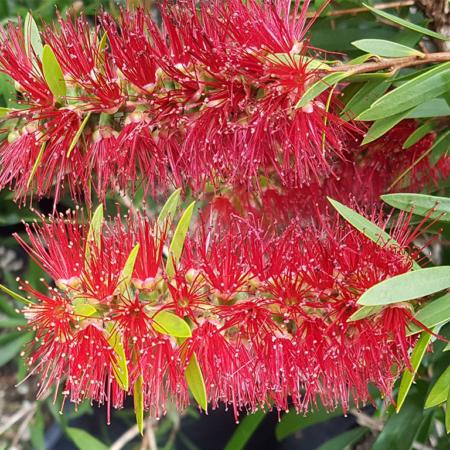 Callistemon-Viminalis--Red-Clusters--Bottlebrush-June-2016
