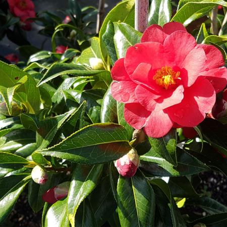 Camellia-Hybrid-Jamie-June-2016