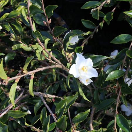 Camellia-Hybrid-Wirlinga-Bride-flower-June-2016