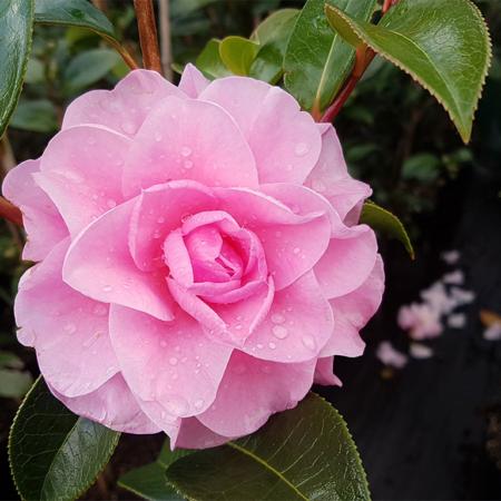 Camellia-reticulata-Congratulations--July-2016