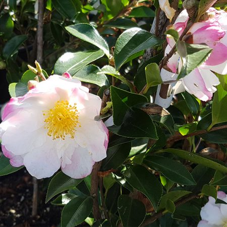 Camellia-sasanqua-Paradise-Venessa-June-2016