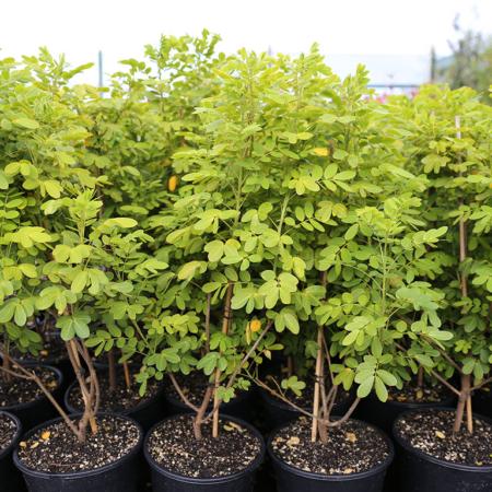 cassia-corymbosa-john-ball-buttercup-tree-oct-2016