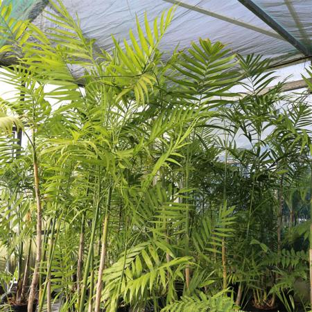 Chamaedorea-costaricana-Cluster-Palm-July-2016