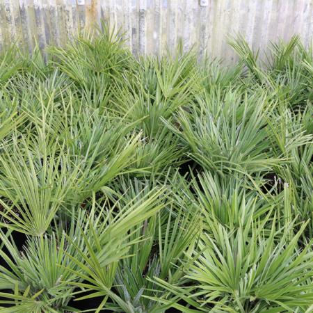 Chamaerops-Humilis--Mediterranean-Fan-Palm-June-2016