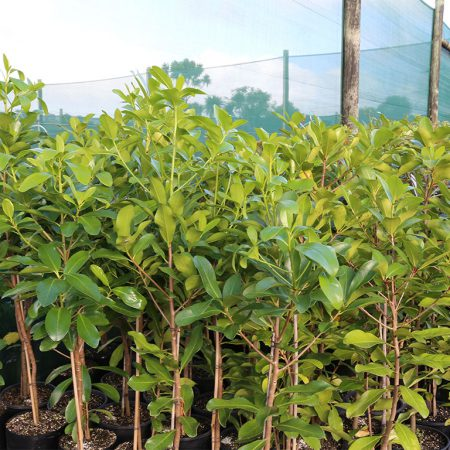 Corynocarpus-laevigatus-Karaka-June-2016