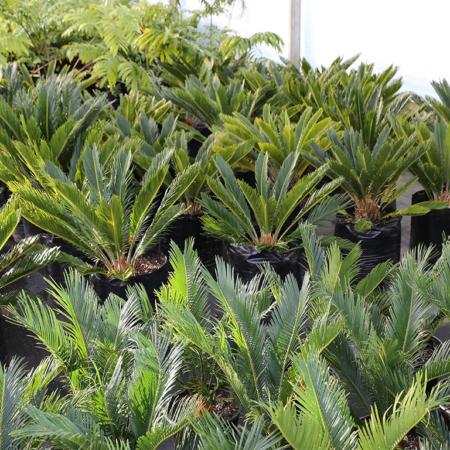 Cycas-revoluta-Sago-Palm-June-2016