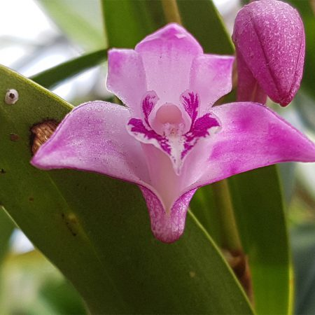 Dendrobium-Kingianum-Miniature-Orchid-Flower-July-2016