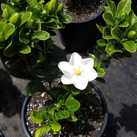 gardenia-fragrant-star-nov-2016