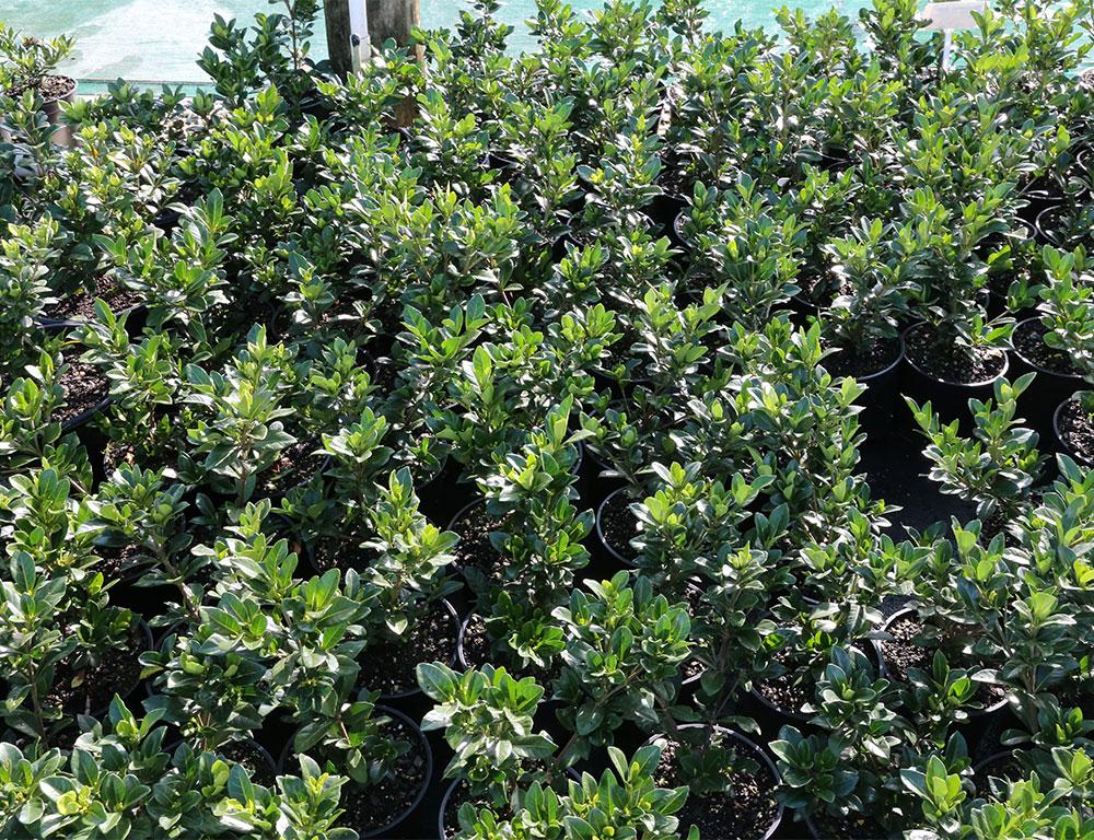 Gardenia Augusta Crown Jewel Awa Nursery
