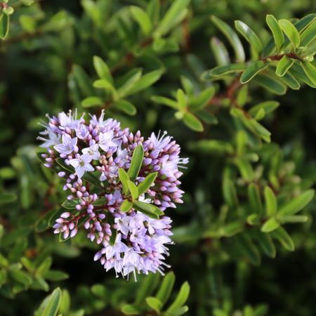 Hebe-Diosmifolia-Mauve-July-2016