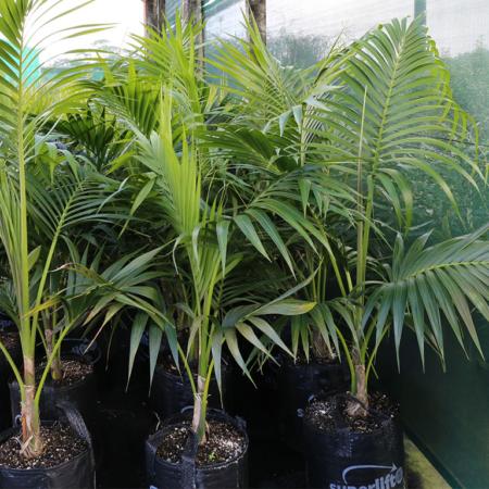 Howea-forsteriana-Kentia-Palm-June-2016