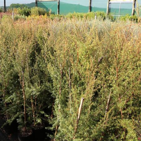 Kunzea-ericoides-Kanuka-Tea-Tree-July-2016
