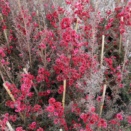 leptospermum-burgundy-queen-tea-tree-sept-2016