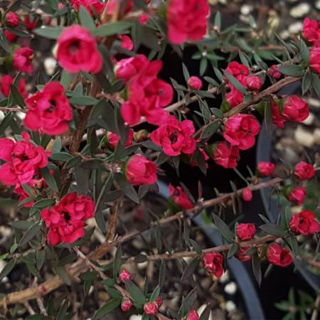 Leptospermum-Wiri-Joan-Flower-July-2016
