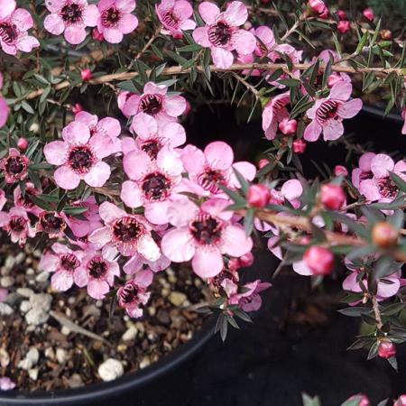 Leptospermum-Wiri-Shelley-Flower-July-2016