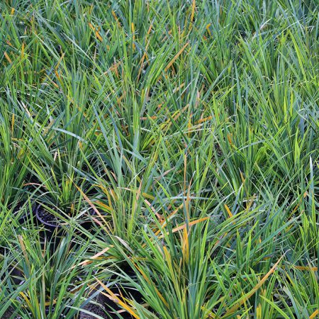 Libertia-Grandiflora-New-Zealand-Iris-July-2016