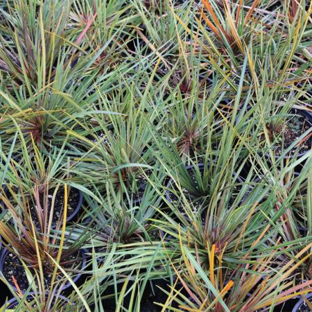 Libertia-ixiodes-New-Zealand-Iris-July-2016