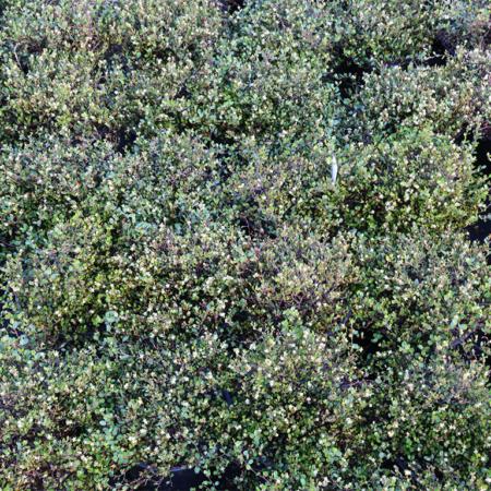 Muehlenbeckia-axillaris-Pohuehue-June-2016