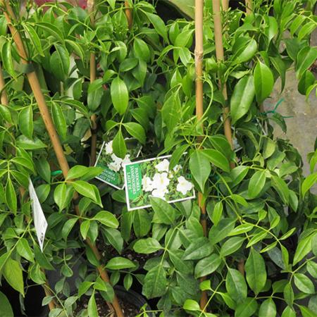 Pandorea-jasminoides-Lady-Di-Nov-2014