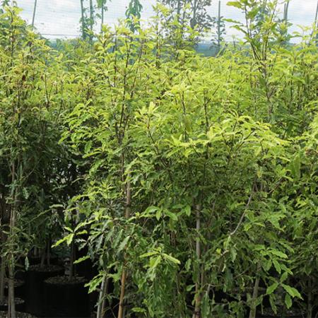 Pittosporum-eugenoides-Lemonwood-Nov-2014