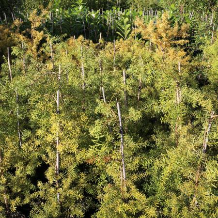Podocarpus-totara-Aurea-Golden-Totara-June-2016