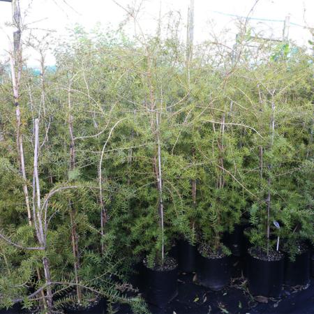 Podocarpus-totara-July-2016