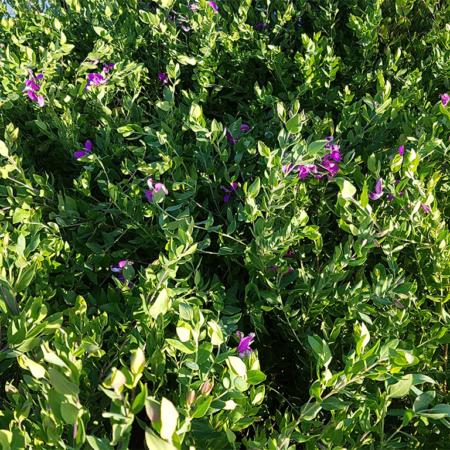 Polygala-Dazzler-Sweet-Pea-bush-June-2016