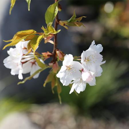 Prunus-Shidare-Yoshino-Flowering-Cherry-Sept-2015