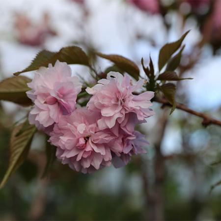 Prunus-kiki-shidare-Sakura-Nov-2015