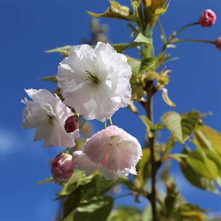 Prunus-shimidsu-Sakura-Flowering-Cherry-Sept-2015