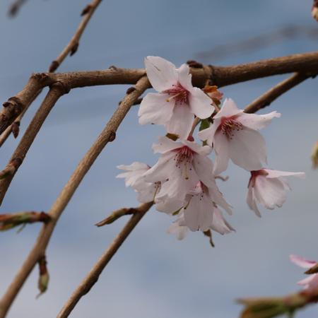 prunus-subhirtella-falling-snow-weeping-flowering-cherry-flower-sept-2016