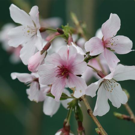 prunus-x-yedoensis-awanui-hybrid-yoshino-cherry-flower-sept-2016