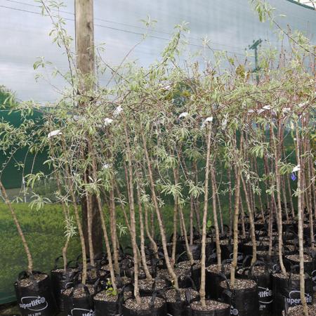 pyrus-salicifolia-pendula-weeping-silver-pear-sept-2016
